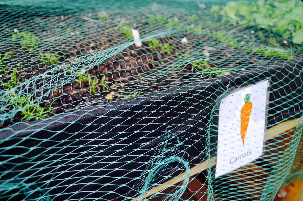 Carrots in a trug covered with mesh