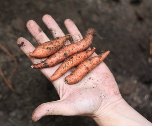 mini sweet potatoes
