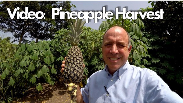 To Harvest a Pineapple