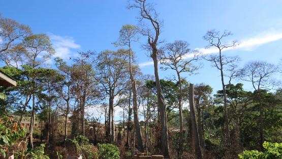 Standing Trees of Berekuso