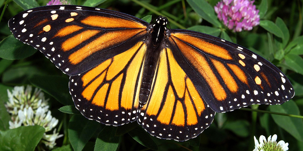 Dicamba Drift Could Put 60 Million Acres of Monarch Habitat at Risk