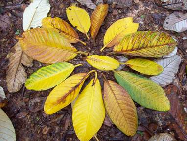 Trevarno autumn leaves