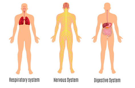 human systems: respiratory, nervous and digestive