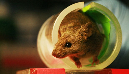 Photo of a mouse in a tube.