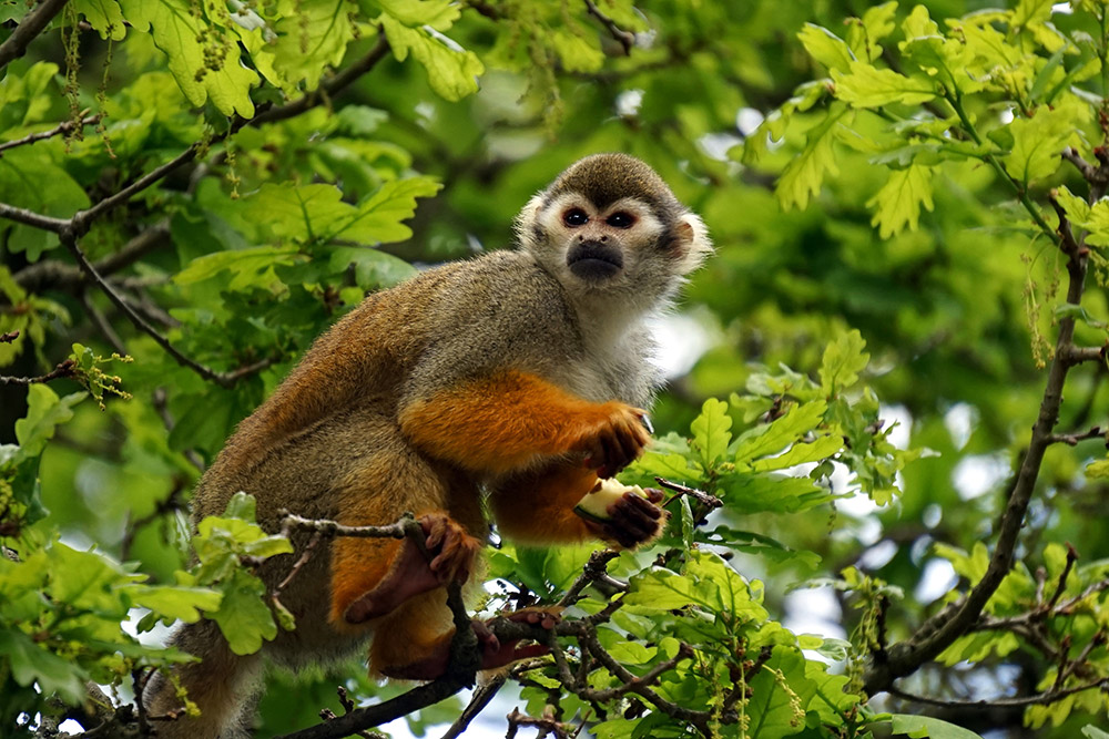 A common squirrel monkey sitting in what looks very much like an oak