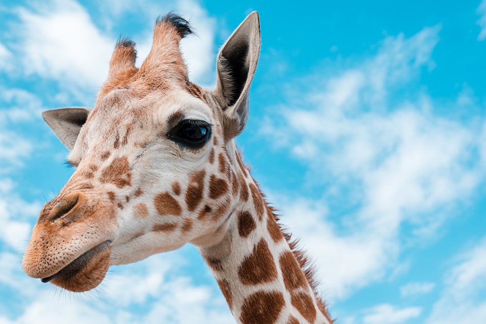 The head of a fuzzy giraffe looking at you with a kind but slightly concerned look in it's eyes
