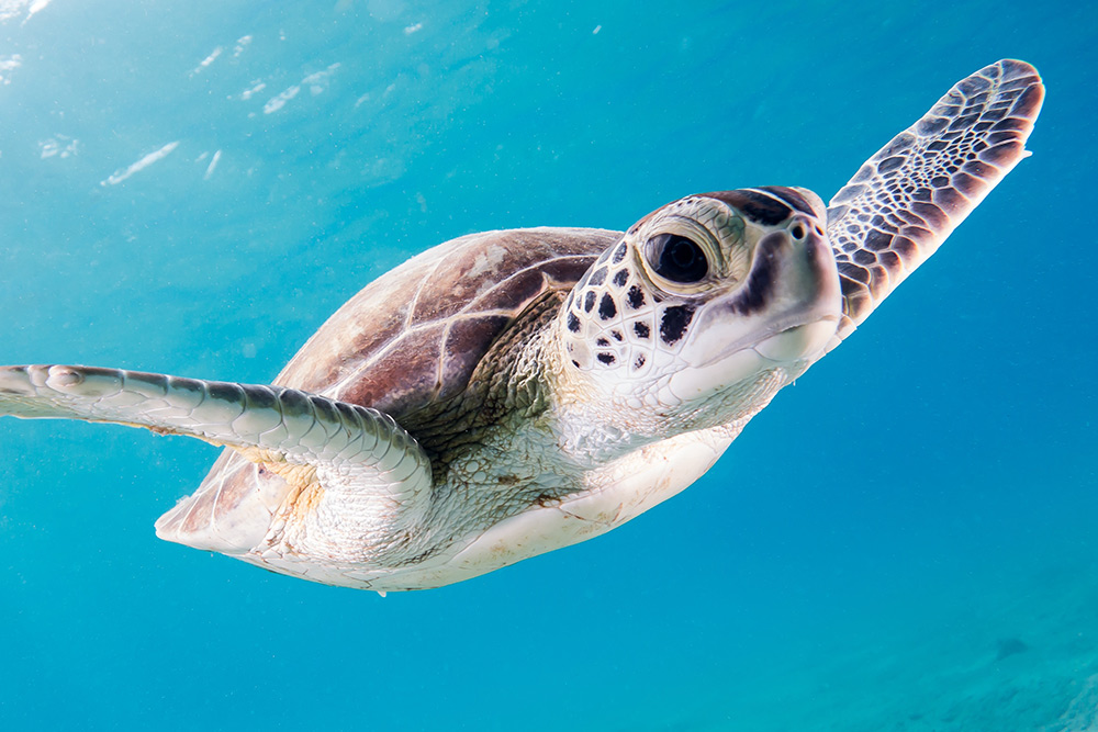 A large brown sea turtle with a cool look in its' black eyes is swimming under water in a very blue sea.