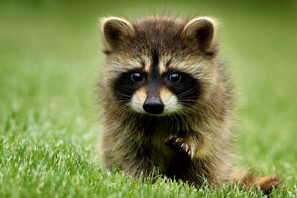 A dark brown raccoon baby with glittering eyes is standning on green grass while lifting up its little paw.