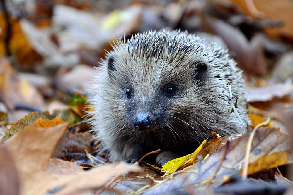 A tiny hedgehog with kind eyes among autumn leaves