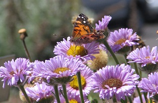 American Painted Lady butterfly on wildflowers
