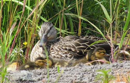 Duck with ducklings at El Polin Spring