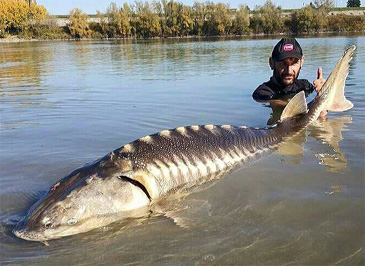 new Adriatic Sturgeon best mark