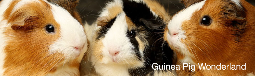 Guinea Pig Wonderland on Facebook