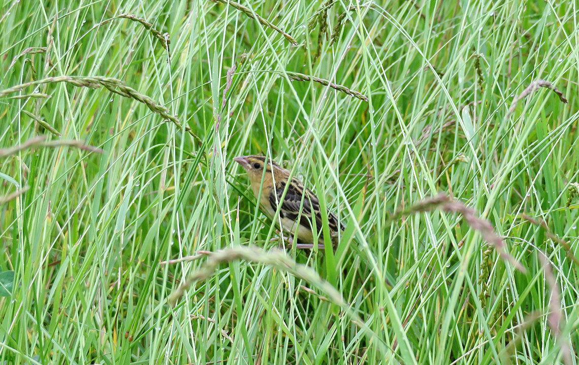 Bobolink fledgling
