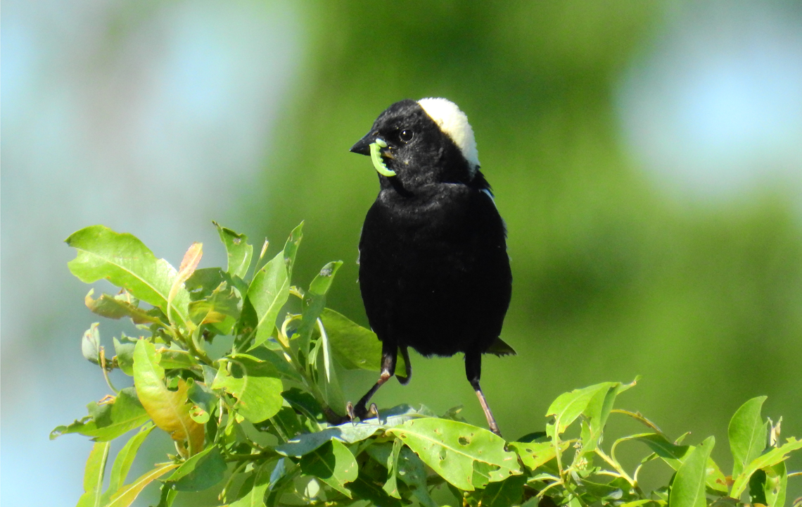 Male Bobolink carrying food