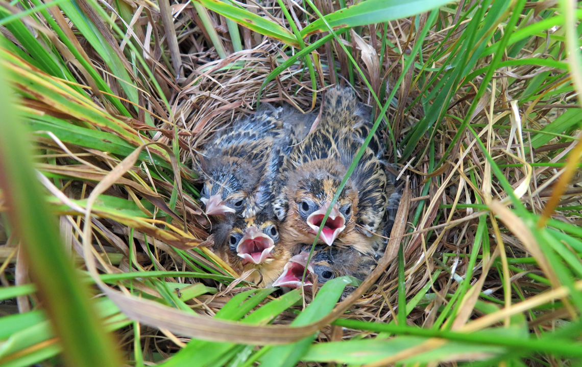9-day-old bobolink nestlings