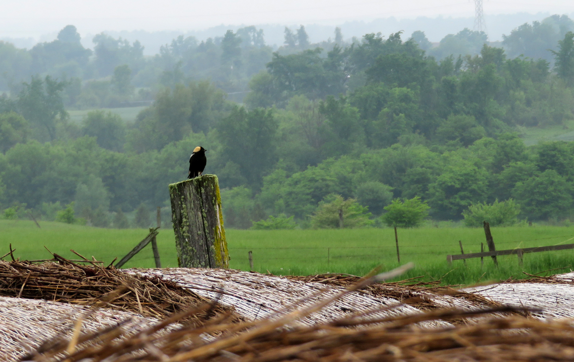 Male Bobolink perched next to hay