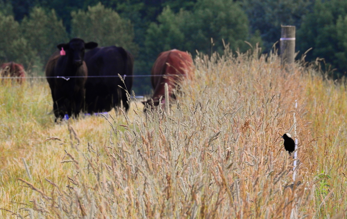 Bobolink and cattle