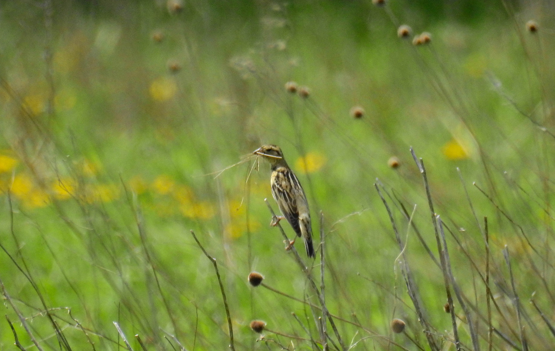 Female Bobolink with nesting material