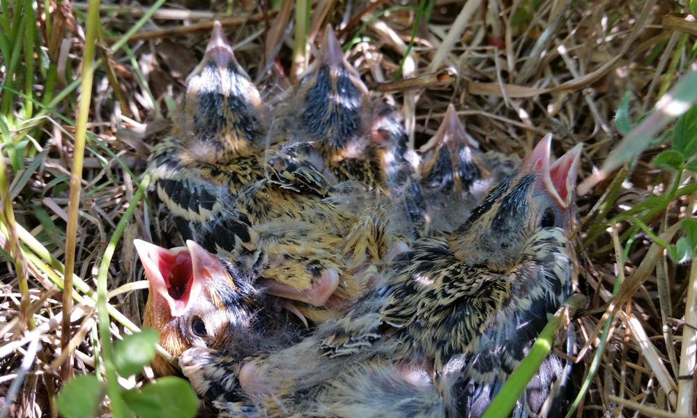 Bobolink nest