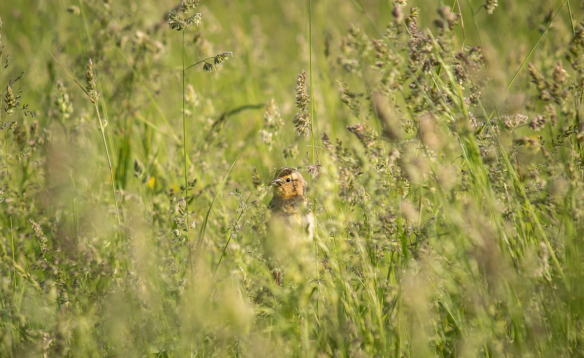 Female Bobolink carrying food