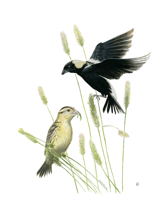 Bobolink pair_By Kaila Ritchie
