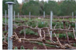 pruned grape vines
