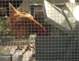 grandpas feeder chicken feeder