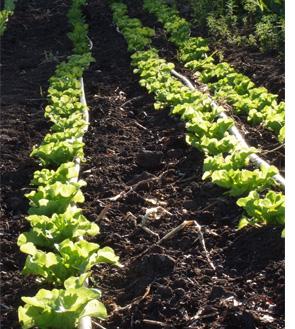 lettuces under irrigation