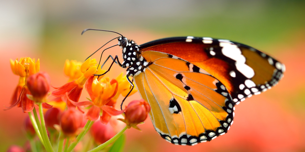 Monarch-Butterfly-On-Orange-Flower