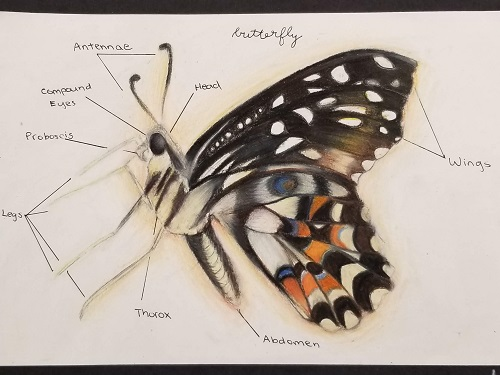 Color pencil sketch of butterfly with parts labeled.