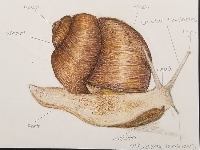 Pencil drawing of snail, with parts labeled.