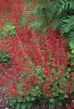 red-salvia