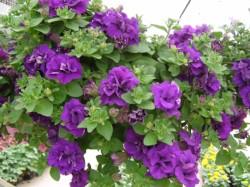 Double Wave Blue Velvet Petunia
