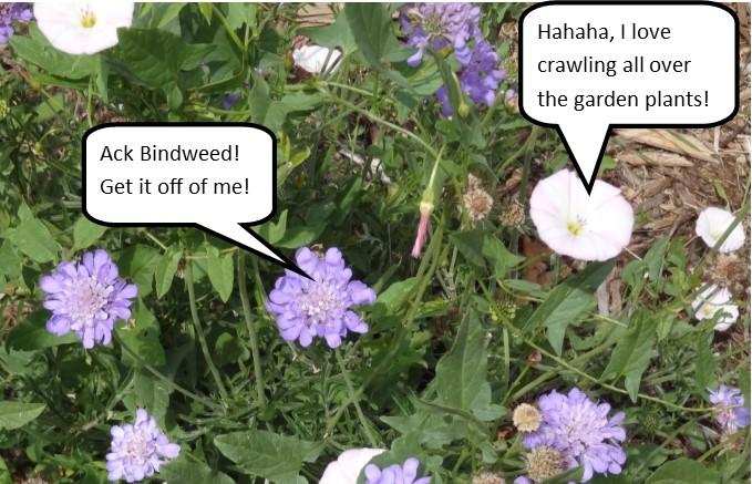 Ack Bindweed!