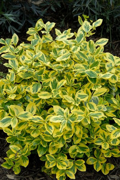 Goldflame Euonymus