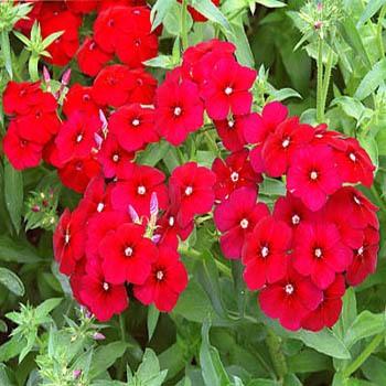 Crimson-Phlox