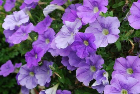 Blue Sky Petunia