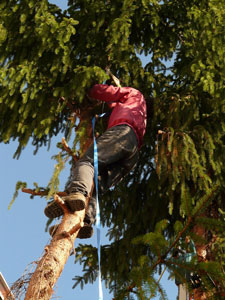 Tree surgeon up a tree