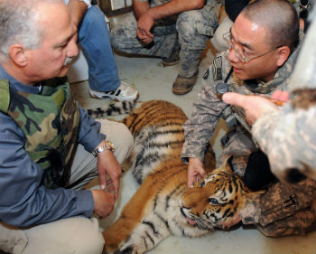 Treating a tiger
