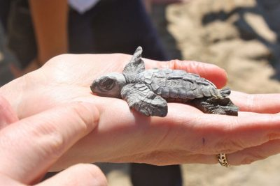 A baby turtle gets a helping hand on the beach