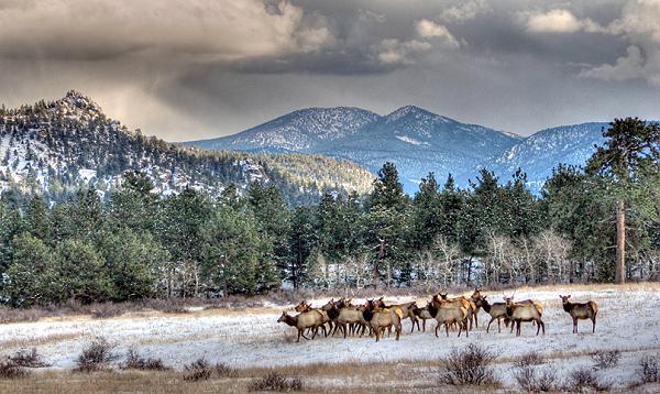 Photo of elk herd.