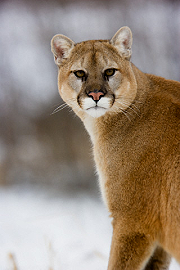 Photo of cougar.