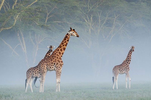Rothschild's giraffes (Giraffa camelopardalis rothschildi) in the mist at dawn, Nakuru National Park, Kenya.