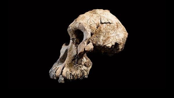 Cranium Specimen, Australopithecus anamensis.