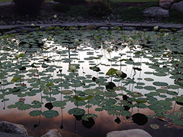 Pond with lillies and orange highlights from the setting sun