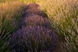 Abbondanza Lavender