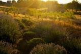 Abbondanza Lavender Field
