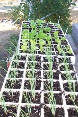 Alice's fall seedlings