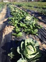 Tyson Hill Farm Cabbage